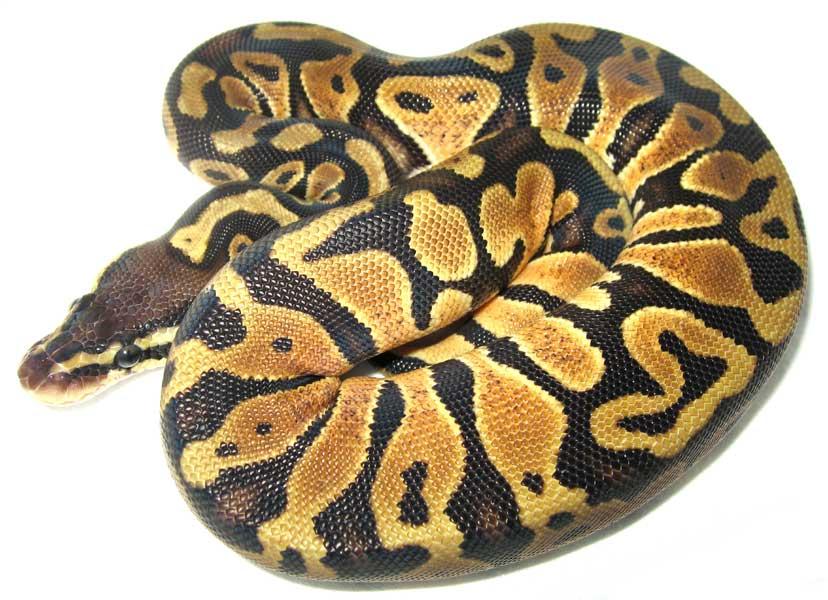 Pastel ball python - photo#1