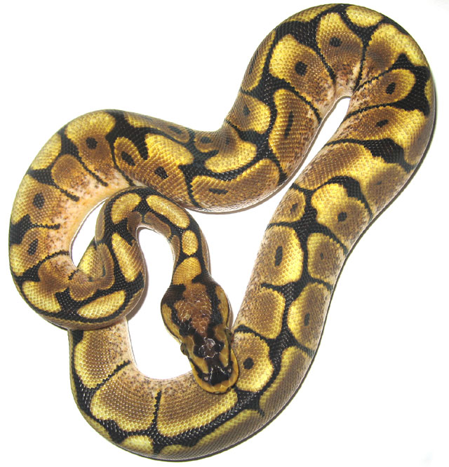 spider ball python all about snake world snake tattoo design. Black Bedroom Furniture Sets. Home Design Ideas